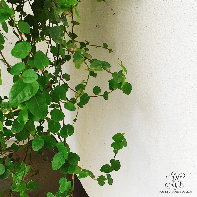 creeping fig for spring porch