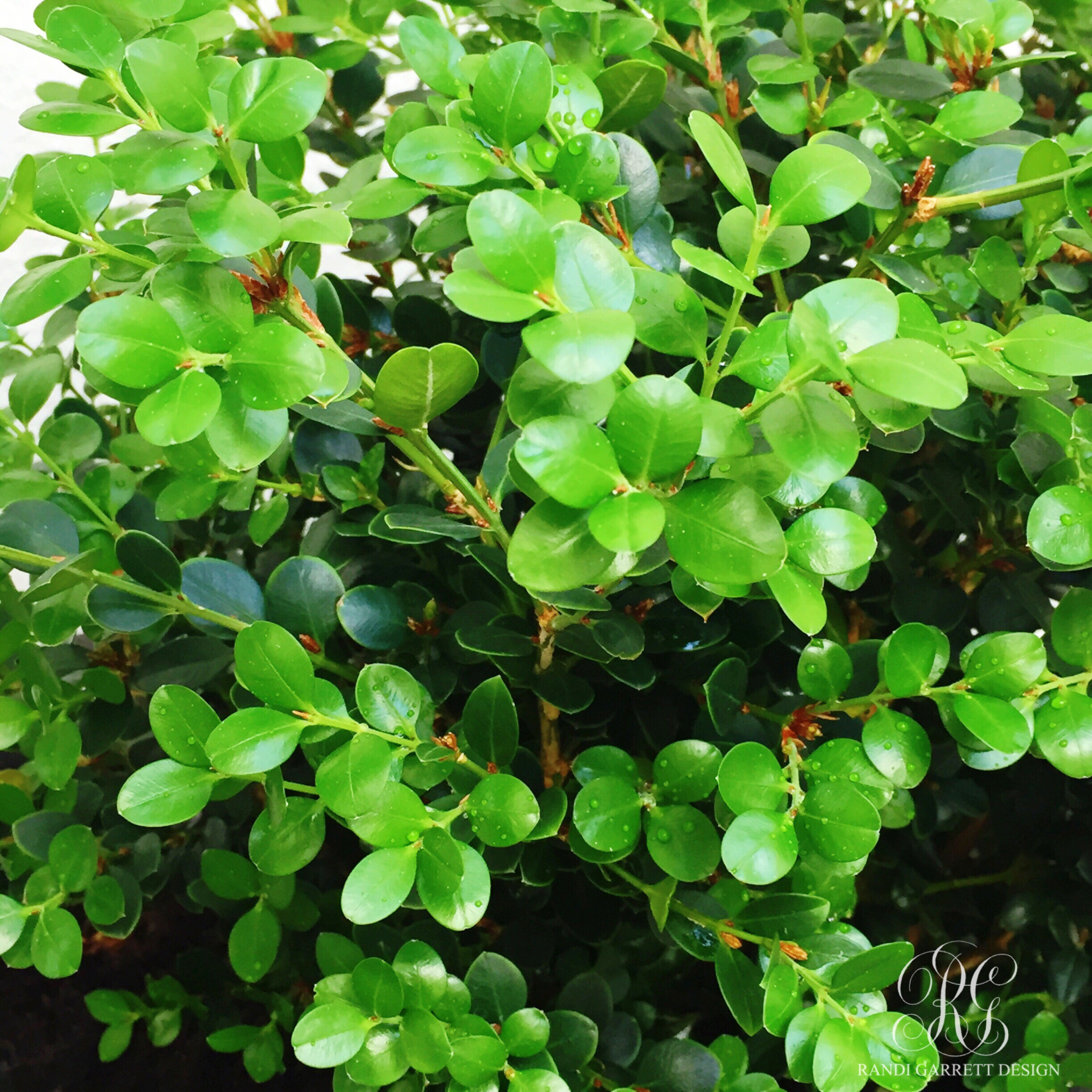boxwood plants for spring porch