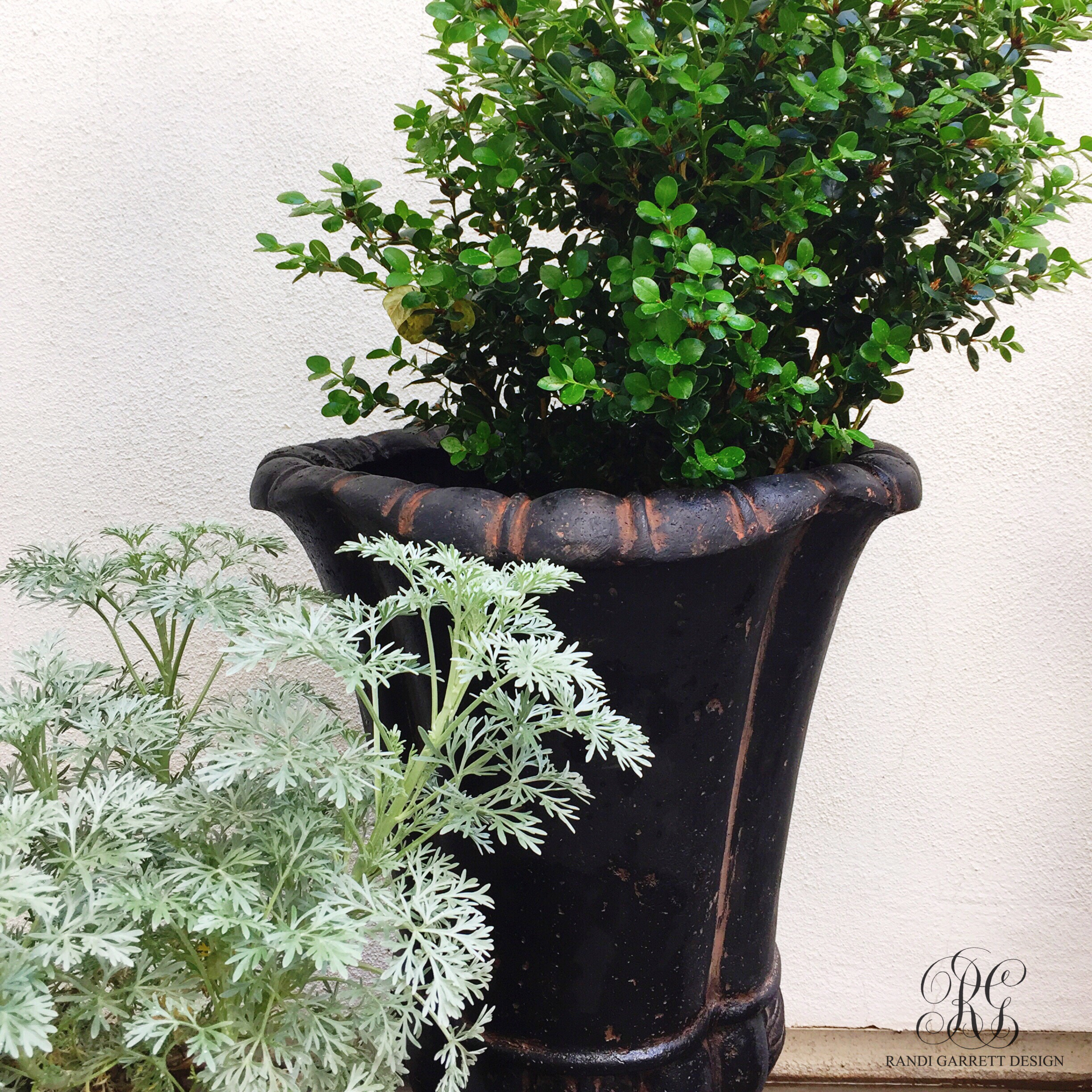 boxwood plants for spring